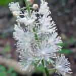 Σιμισιφούγκα (Black Cohosh): To γυναικείο φυτό